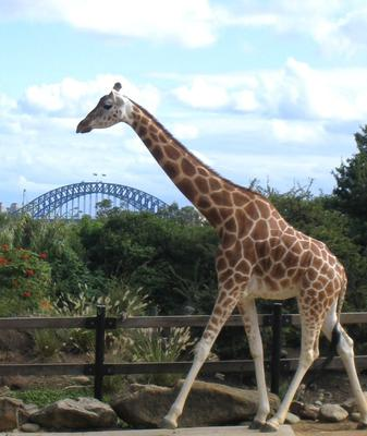 A giraffe at the zoo